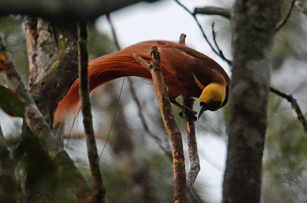 Sharyn Magee:Birds of Papua New Guinea and New Britain