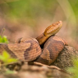 Tyler Christensen: The Hidden Lives of Copperheads @ Stainton Hall at Pennington School | Pennington | New Jersey | United States