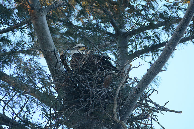 Bald Eagle © Sharyn Magee