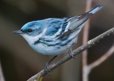 Cerulean Warbler recently nested on Baldpate
