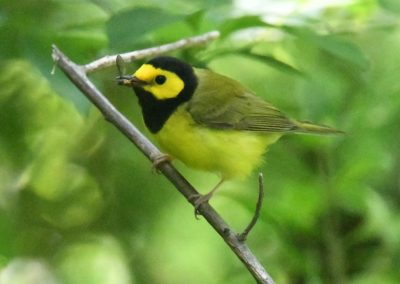 Hooded Warbler at Baldpate carrying food ©Sharyn Magee